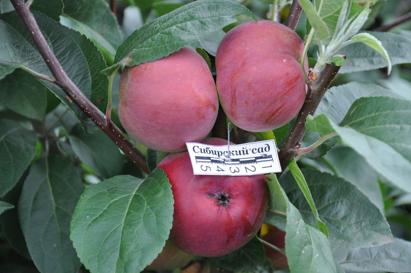 Фото яблонь сорта подарок садоводам